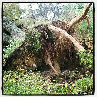 Close up of one of the #weepingwillow #trees #roots #uprooted #Sandy #storm #damage #newhampshire #backyard #fall