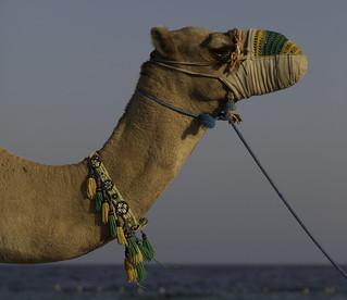 Camel Beauty on the Beaches of Qatar - Middle East | 121001-3549-jikatu