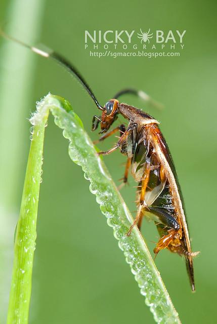 Cockroach? (Blattodea) - DSC_7537