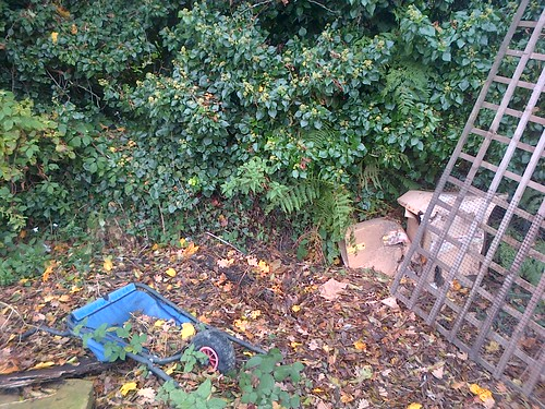 Ivy hedge Nov 12
