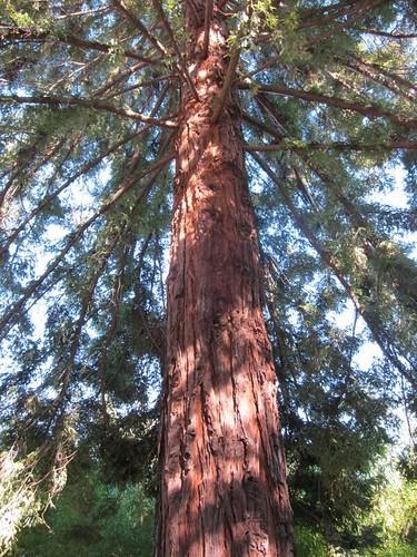 Hakone Japanese Gardens, Saratoga, CA, tree IMG_2284
