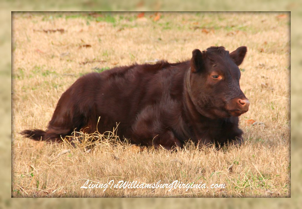 Baby Ox