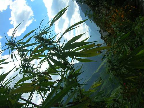 cannabis growing wild