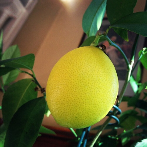 First Lemon