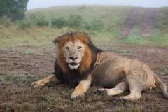 animal, mane, big cats, masai lion, lion, mammal, fauna, savanna, safari, wildlife,