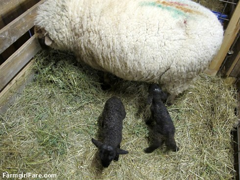 Lambing season begins with Eugenie and twins (2) - FarmgirlFare.com