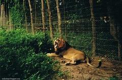 león en Abuko