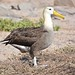 Waved Albatross Española Galápagos tagged by peterleanranger