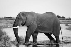Bull elephant, crossing a river channel B&W
