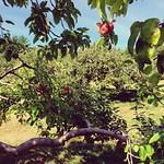 apples%2C+jack.