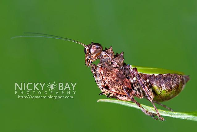 Pachymantis bicingulata - DSC_1488