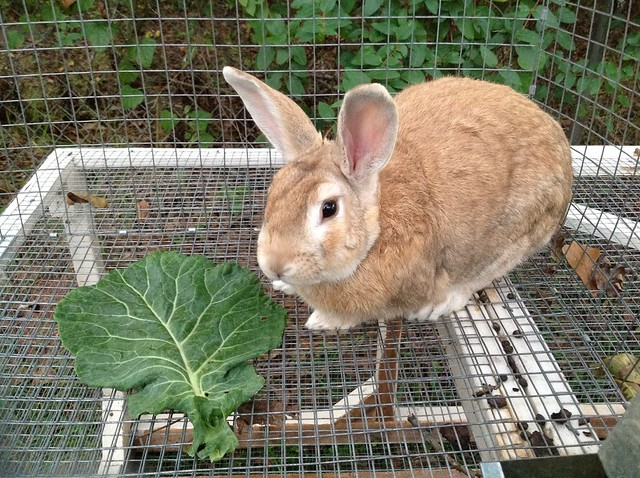 Raising rabbits for meat is a great method for small urban homesteads. We share some of our thoughts on our setup and what has been effective for our homestead.