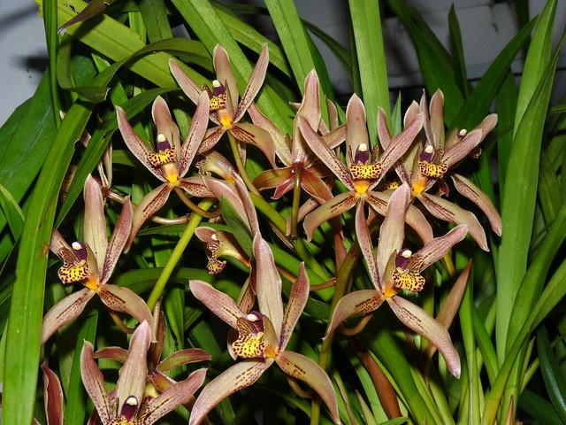 Cymbidium Akaka Falls primary hybrid orchid