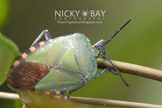 Giant shield bug (Pycanum rubens) - DSC_8298
