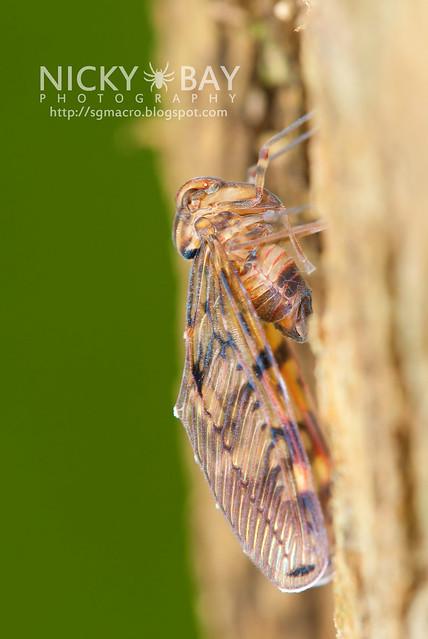 Derbid Planthopper? (Derbidae) - DSC_7956