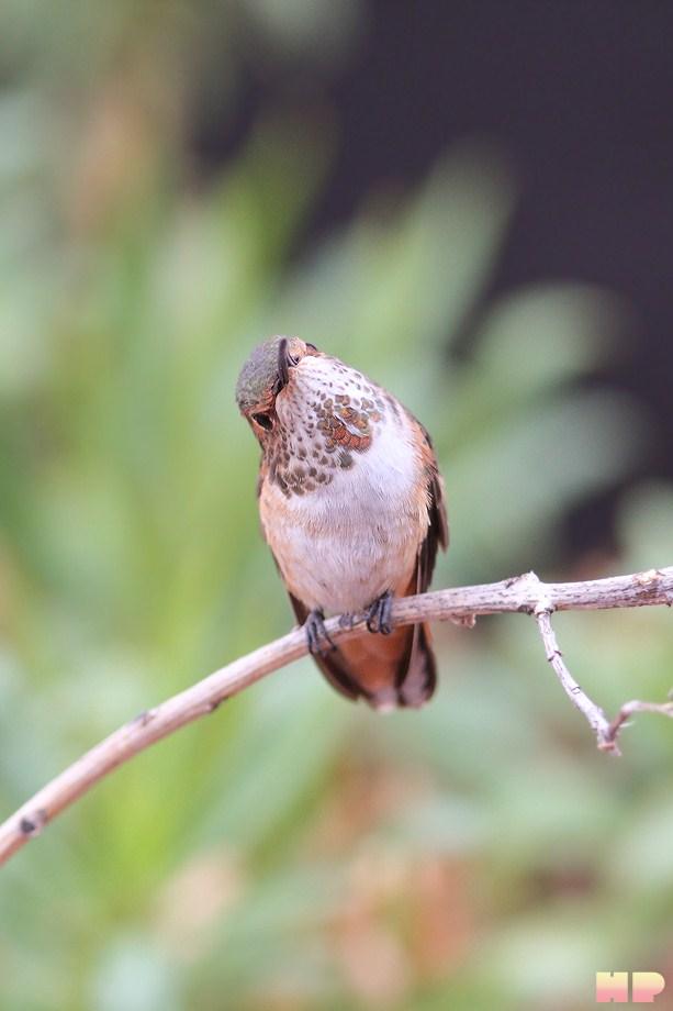 Allen's Hummingbird 101512