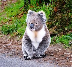 animal, zoo, mammal, koala, fauna, wildlife,