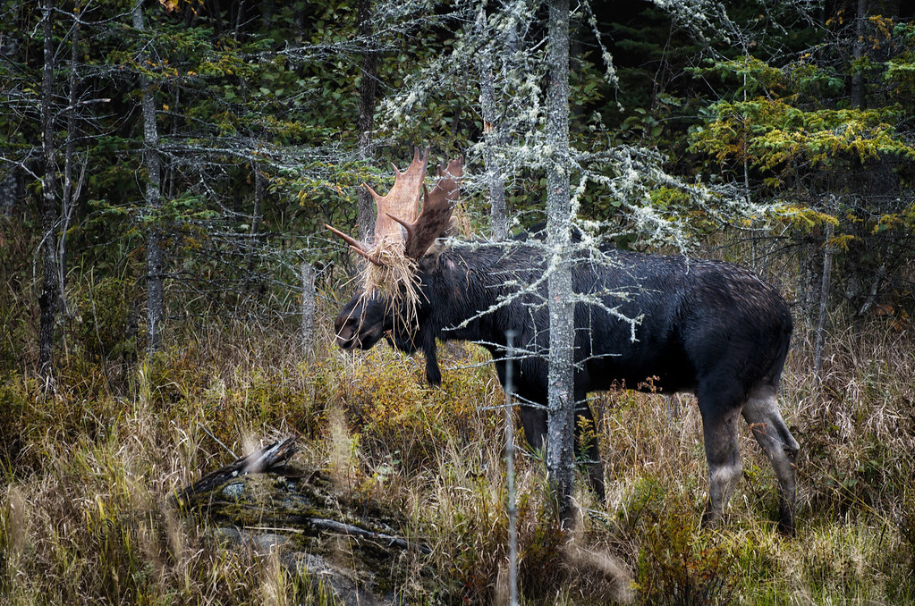 How To Hide If You're A Moose