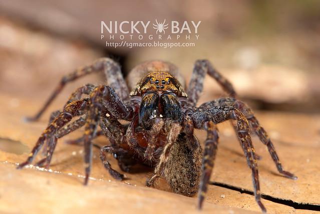 Wandering Spider (Ctenidae) - DSC_5408