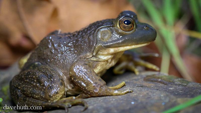 American Bullfrog (Rana catesbeiana), female - profile
