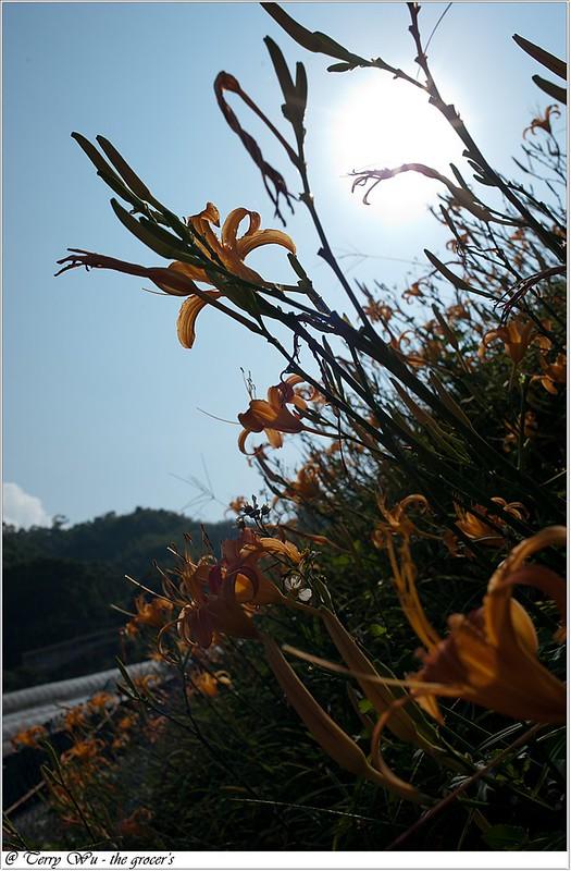 2012-10-14 木柵金針花 a (6)