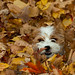 Jersey in the Leaves.jpg by Julie Elder Photography