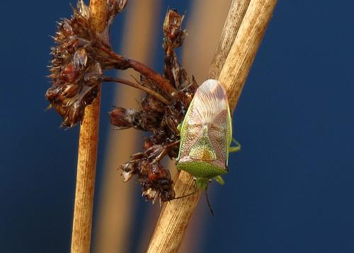 Birch Shieldbug - Elasmostethus interstinctus