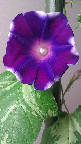 Japanese Morning Glory by Gerris2