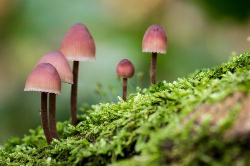 Roosrode paddenstoelen by eosfoto