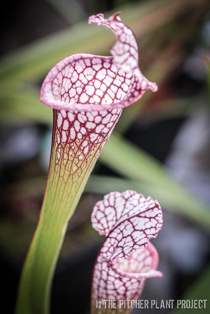 Sarracenia leucophylla, Franklin Co., FL