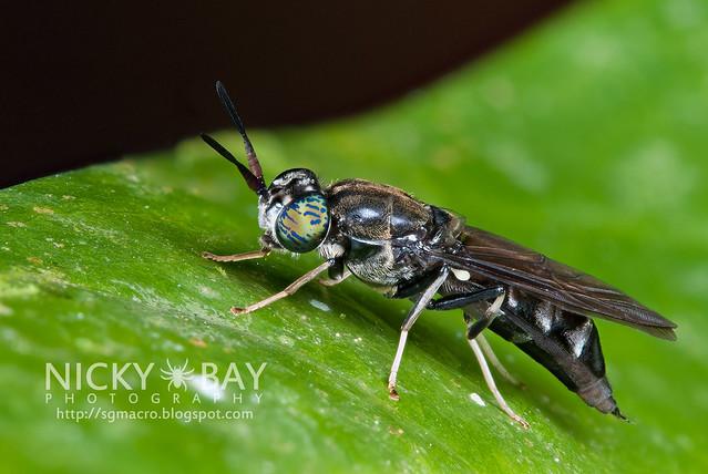 Soldier Fly (Stratiomyidae) - DSC_1864