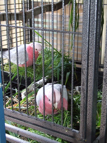 My galahs Merlin and Nemo