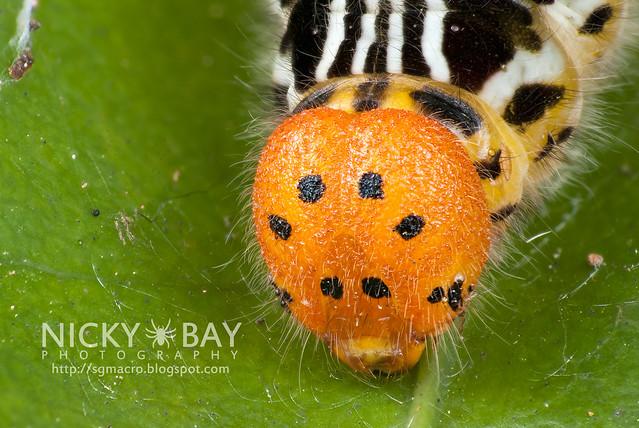 Larva of Orange Awlet (Burara harisa consobrina) - DSC_1380