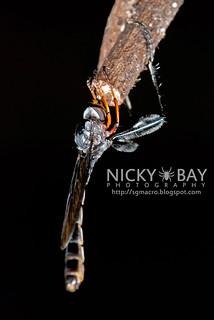 Robberfly (Leptogastrinae) - DSC_0938