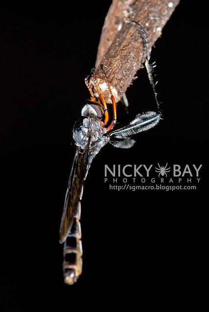 Robberfly (Asilidae) - DSC_0938