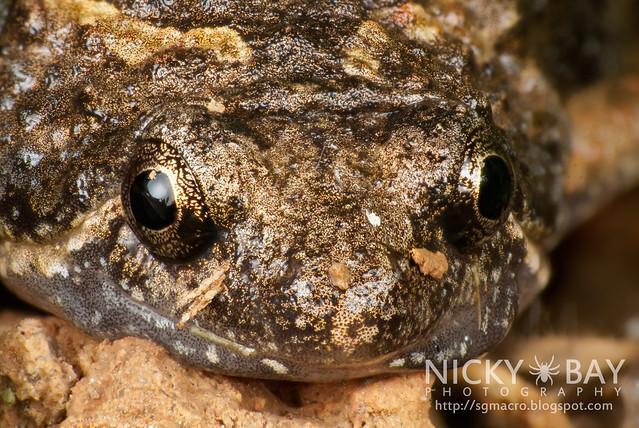 Painted chorus frog (Microhyla butleri) - DSC_0826