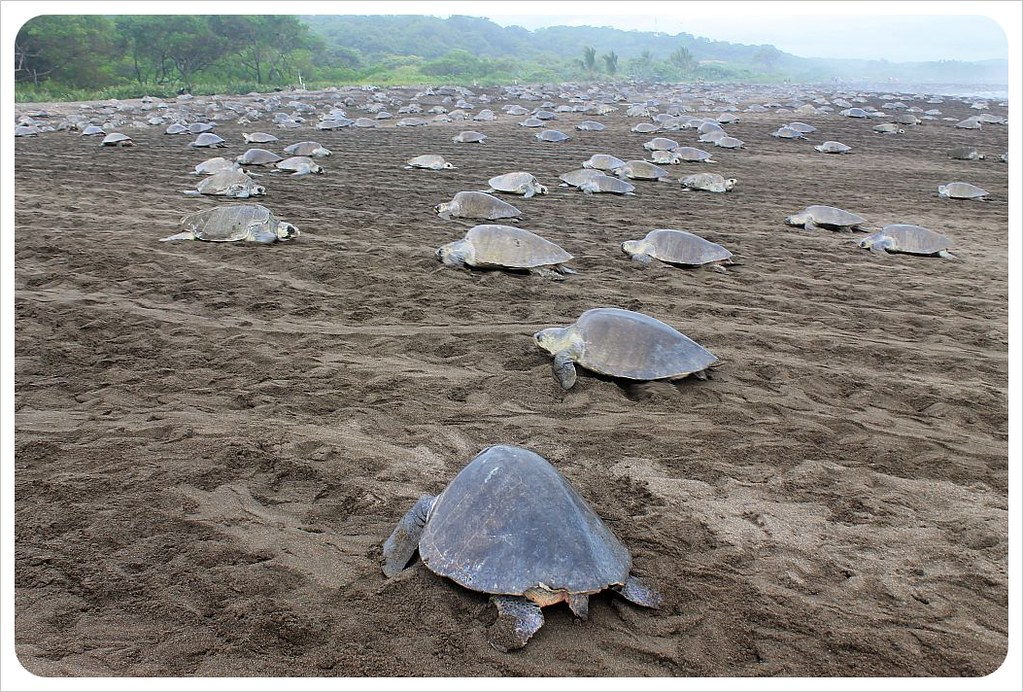 turtles arriving on the beach