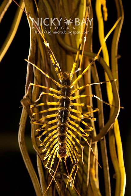 House Centipede (Scutigeridae) - DSC_0416