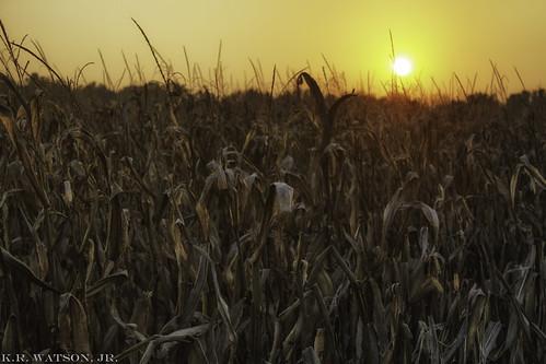 sunset sun corn farm dry stalk
