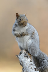 Squirrel_44980.jpg by Mully410 * Images