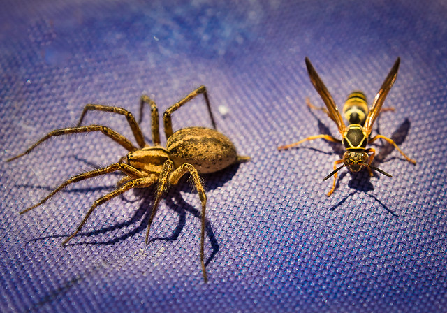 Wasp, Spider, Bugs, Insects, Together, Macro, Yellow Jacket
