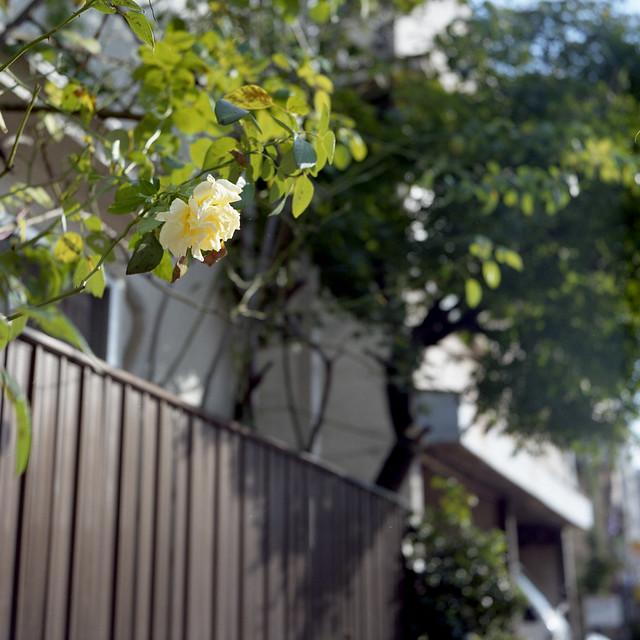 軒先のバラ