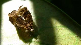 Mating Metalmark Moths