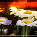 daisies in spring time....     Explore....... by Myphotorose-on and off.. :)