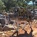 Burro cargando leña - Burro carrying firewood; entre La Paz y Guadalupe Hidalgo, Región Mixteca, Oaxaca, Mexico por Lon&Queta