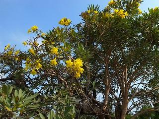 道端の黄色い花をつけた木