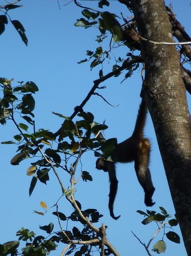 Zoo Ave - spider monkey