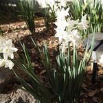 Paperwhites (Narcissus papyraceus) - 2