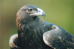 War Eagle VI
