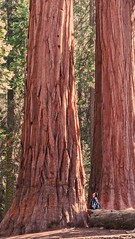 Looking up near a sequoia